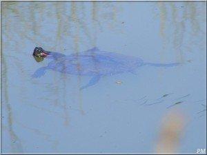 tortue-de-floride-300x225 dans Espèces invasives