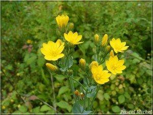 blackstonia-perfoliata-300x225