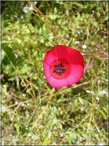 lin-a-grandes-fleurs-4-225x300