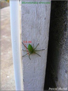 La belle verte dans Araignees micrommata-virescens-225x300