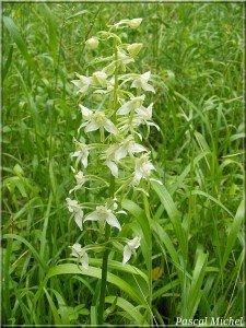 platanthere-a-fleurs-vertes-225x300 dans Fleurs